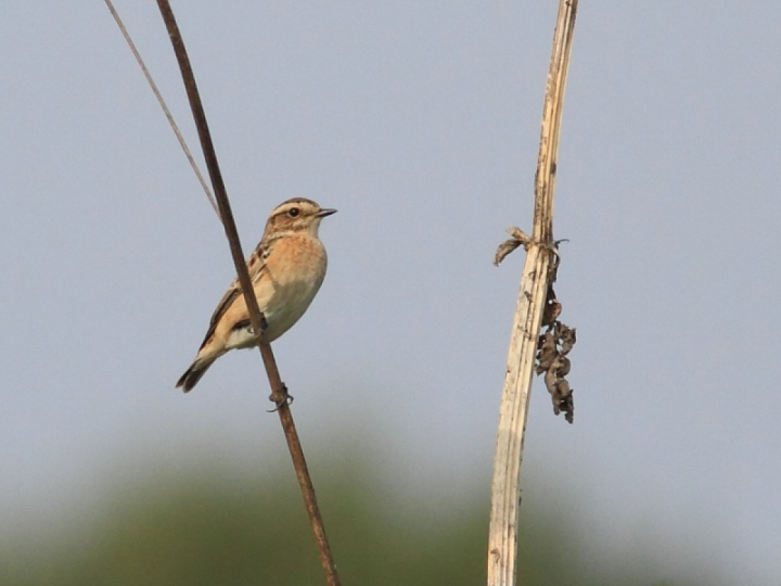 MSWWhinchat18914-2