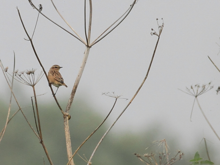 MSWWhinchat17914d-2