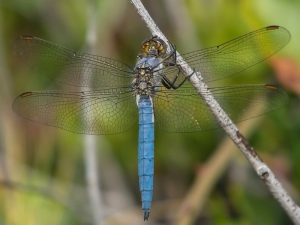 Southern Skimmer male