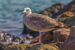 1st Winter Caspian Gull