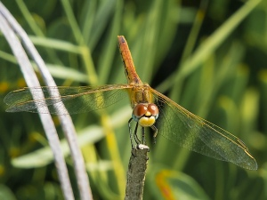 Red-veined Darter female