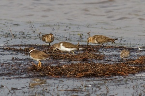 4 in 1, Common Sandpiper, Ringed Plover, Little Stint, Dunlin