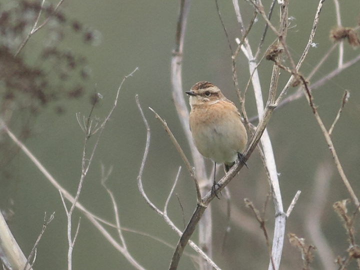 MSWWhinchat17914m-2