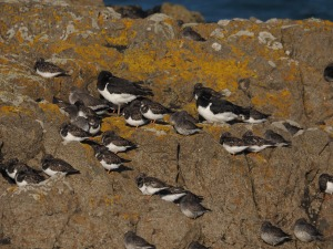 Oystercatcher, Turnstones and Purple Sandpipers