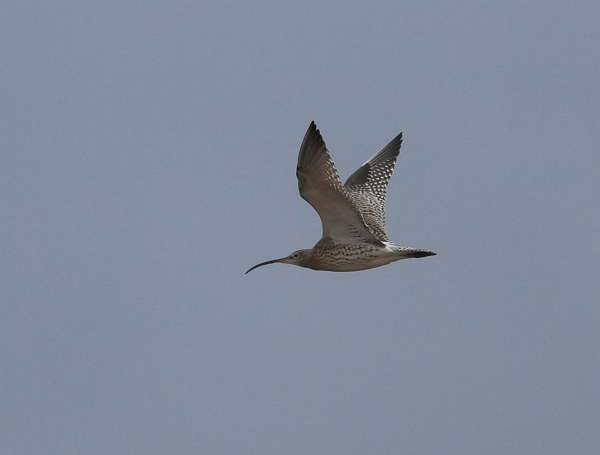 MSWCurlew19114