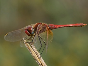 Red-veined Darter male