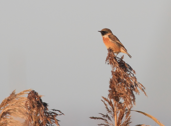 MSWStonechat11213