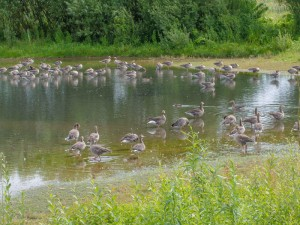 Some of the c160 Greylag on the scrape