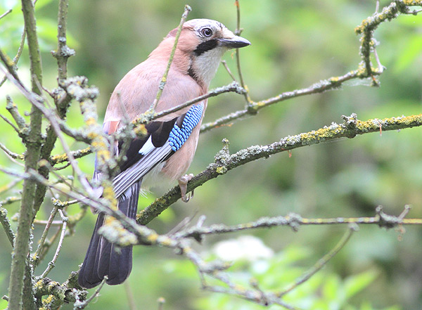 Currently my one and only decent shot of a Jay, this one from Belton village, taken on the bridge leading onto the Belton House entrance, over the Witham where KIngfishers are sometimes seen.