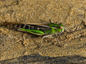Large Grasshopper sp.