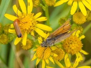 Soldier Beetle and Small Skipper (very worn)