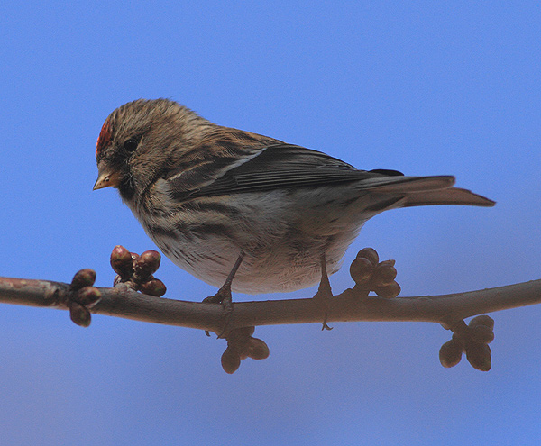 Lesser Redpoll taken in Grantham in March in a freinds back garden.
