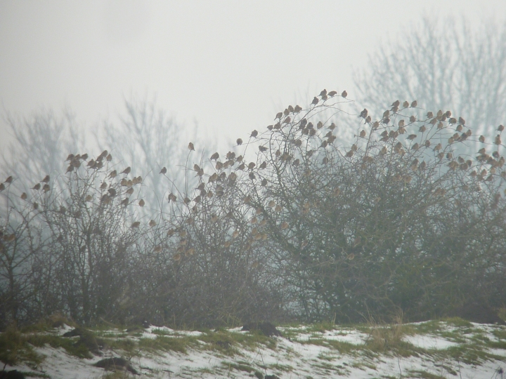 Part of a flock of linnets,over 350 in total
