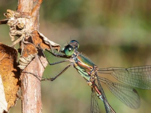 Eastern Willow Spreadwing, male