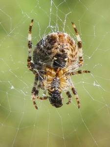 Garden Spider with lunch