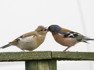 Chaffinch-and-young