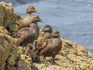 Eider and young
