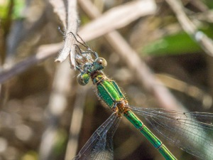 Emerald Damsel female - close up.