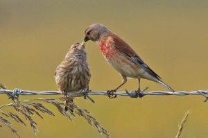 Linnets Feeding