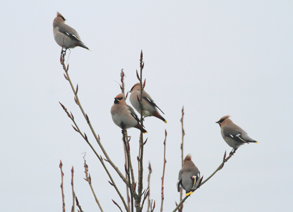5 of the 10 Waxwings
