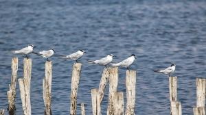 5 Sandwich Terns and a Little Tern