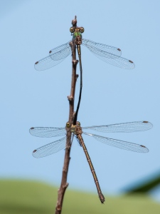 Eastern Willow Spreadwing, mating pair