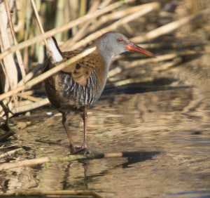 Water Rail, Marston, 11 Mar