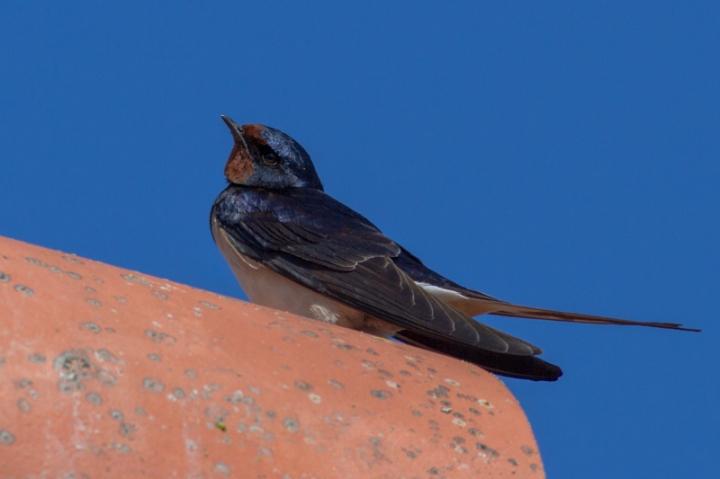 SthLinSwallow30416