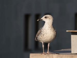 Yellow legged gull, 1st Winter