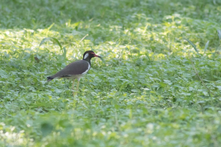 doiintrdwatlapwing-1-of-1-2