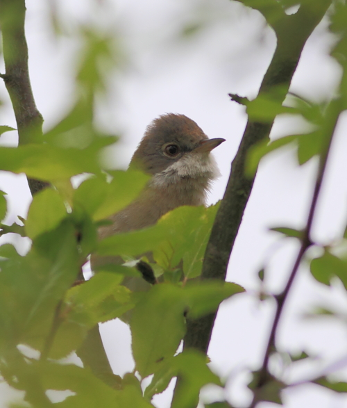 MSWWhitethroat5414d