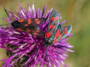 Six Spot Burt moths