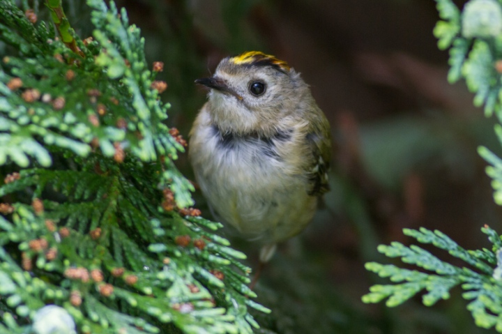 BathGoldcrest0616c (1 of 1)