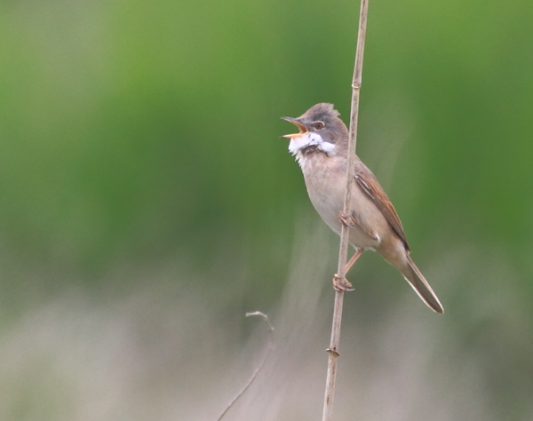 MSWWhitethroat5414b