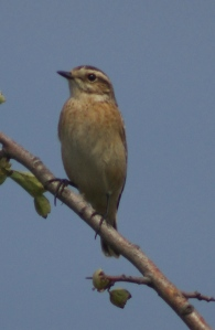 Whinchat 18 Sept 14