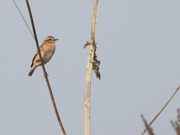 MSWWhinchat18914b-2