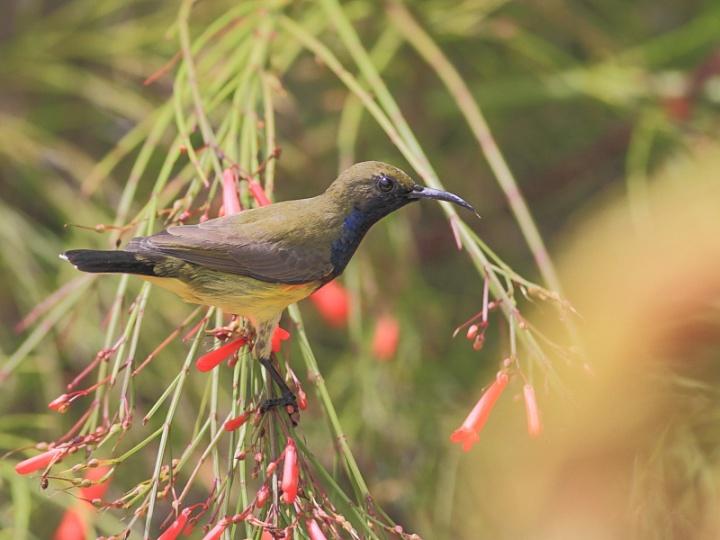 NYangOBSunbird-2