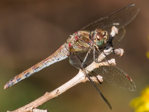 Red-veined Darter, female