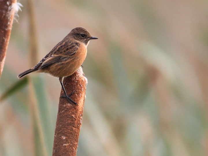 MSWStonechat261014d-2