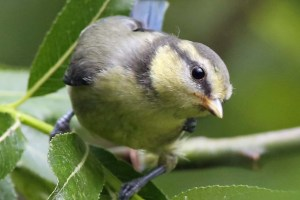 Juvenile Blue Tit