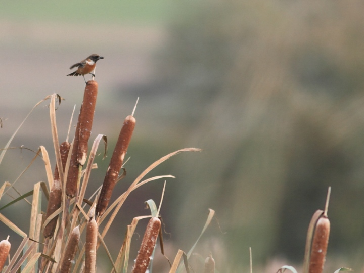 MSWStonechat261014g-2
