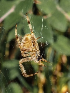 Garden Spider, with lunch