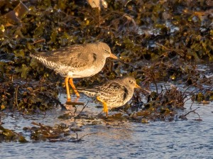 Redshank and Purple Sandpiper
