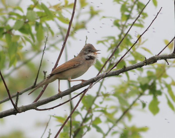 MSWWhitethroat5414c