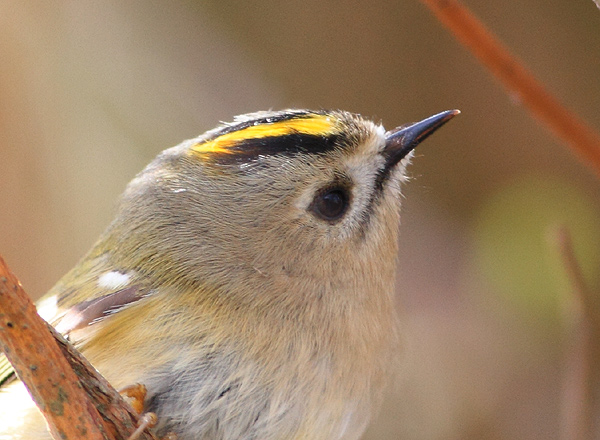 MSWGoldcrest15413