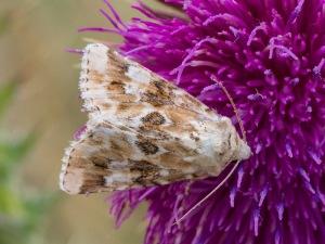 Dusky Sallow moth