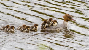 Goosander-and-young