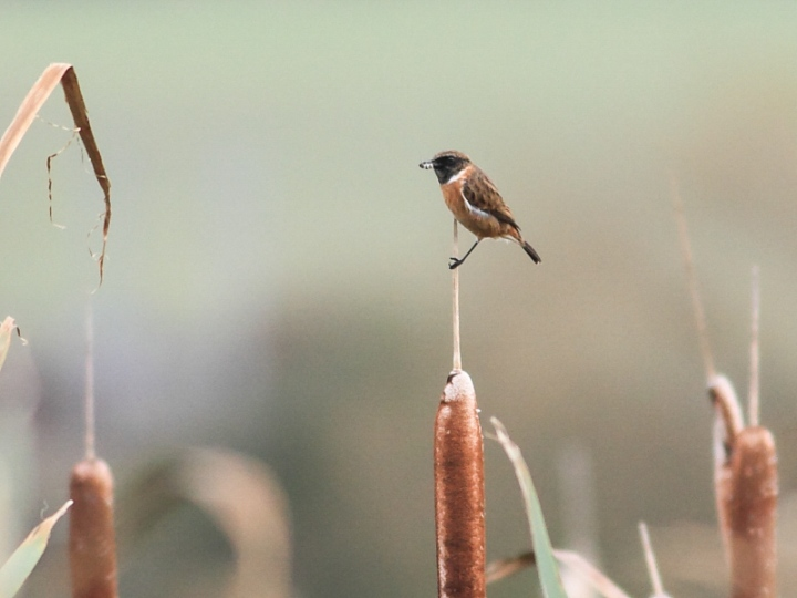 MSWStonechat261014h-2