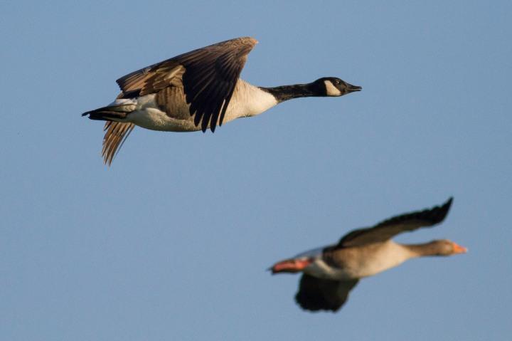 Canada Goose - Greylag