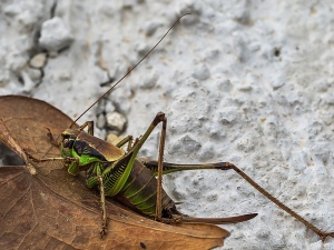 Bush Cricket sp.